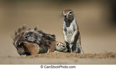 Ground squirrels - Male and female ground squirrels Xerus...