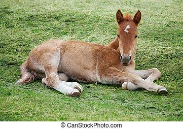 Little foal lying on green grass