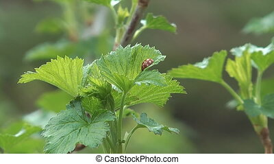 Ladybug. - Ladybug on leaf currant.