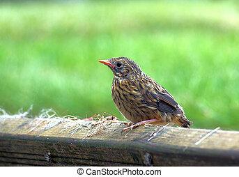 Young Sparrow Fledgling - Young fledgling sparrow chick days...