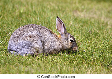Cottontail Eating - a cottontail rabbit eating in green...