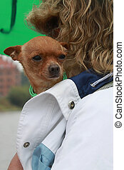 Devoted and brave toy terrier sitting in the jacket of his...