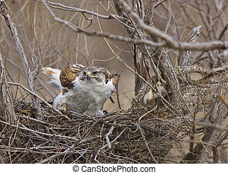 Ferruginous Hawk in Saskatchewan Canada in nest