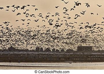 Snow Geese Migration in flight Saskatchewan Canada