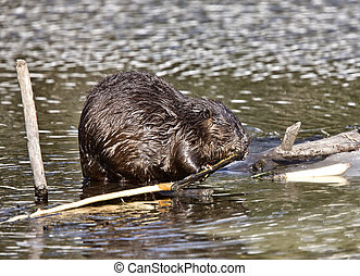 Beaver at Work in early spring Manitoba