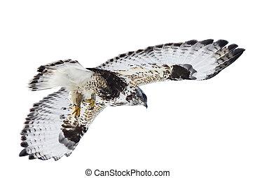 Rough Legged Hawk in Flight - Rough Legged Hawk Saskatchewan...