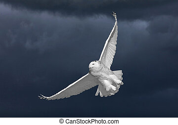 Snowy Owl in Flight in Saskatchewan Canada