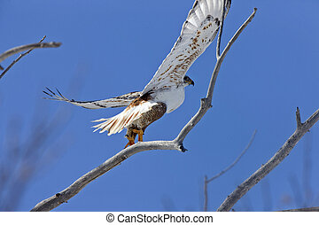 Ferruginous Hawk in Flight in Saskatchewan Canada