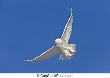 Snowy Owl in Flight in Saskatchewan Canada