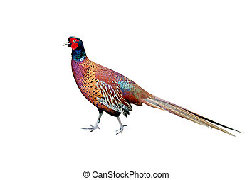 Beautiful Cock Pheasant - Colorful cock pheasant isolated...