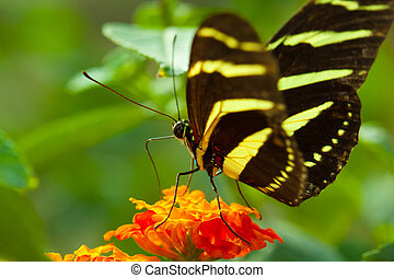 Zebra Longwing butterfly - Zebra Longwing (heliconius...