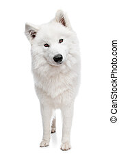 Samoyed dog in front of a white background