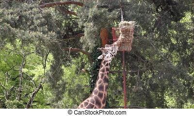 giraffe zoo scene