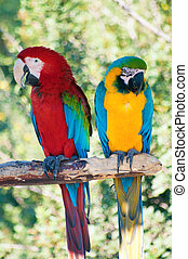 Laughing parrots - Two colorful laughing parrots