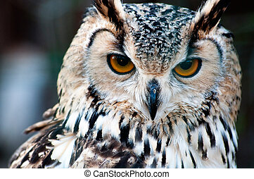 Owl close up portrait - Bengalese Eagle Owl (Bubo...