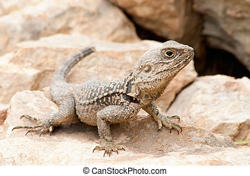 Desert Lizard on a rock