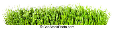 grass panorama - Panorama of green grass in front of white...