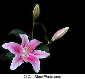 vibrant pink lily in corner isolated on black - vibrant pink...