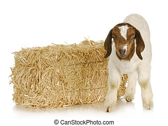 baby goat standing with bale of straw in the background