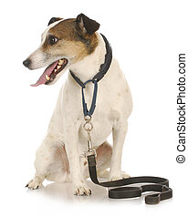 dog waiting to go for a walk - dog walk - jack russel...