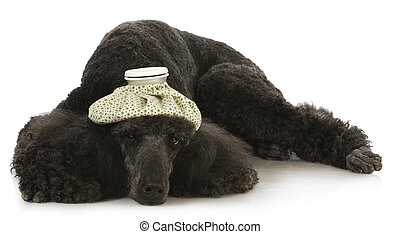 sick dog - standard poodle with hot water bottle on head...