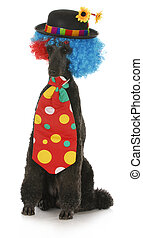 dog clown - standard poodle dressed up in a clown costume on...