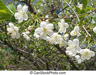 Cherry flowers blossoms in spring