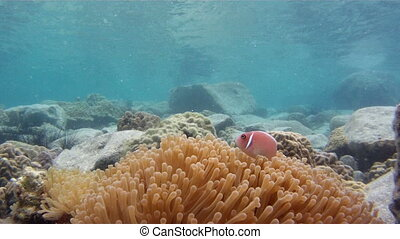 clown fishes and anemone