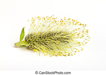 catkin - Pussy Willow catkin from low perspective isolated...