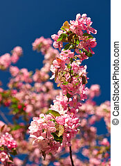 Apple blossoms against a blue sky - Pink apple blossoms...