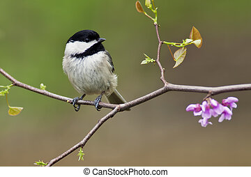 Black-capped Chickadee (Poecile atricapillus) perching on a...