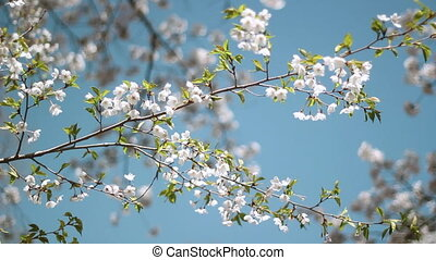 Spring blossom branch. - Blossom on the branch of a Japanese...