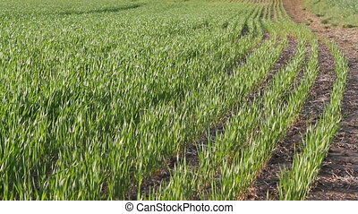 Rows Of Wheat Seedlings - Rows of young wheat seedlings blow...