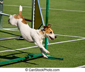 Agility dog with a jack russell terrier