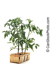 Tomato seedling in front of white background