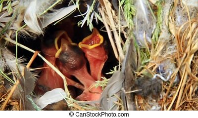 Nest with hungry baby birds - Four hungry baby birds rise up...