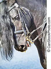 portrait of friesian horse