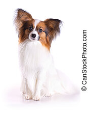 Papillon dog - Dog of breed papillon on a white background