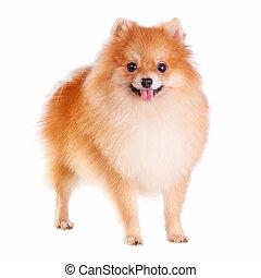Pomeranian Dog - Pomeranian dog isolated on a white...