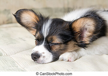 Papillon puppy - Sleeping on bed a little Puppy Papillon