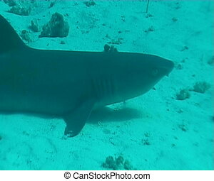 shark underwater diving video