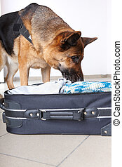 Sniffing dog chceking luggage - Airport canine Dog sniffs...