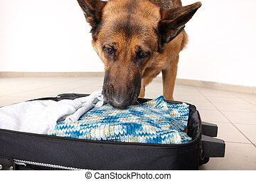 Sniffing dog chceking luggage - Airport canine. Dog sniffs...