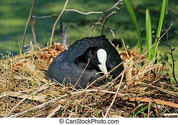 Eurasian coot - Wild Eurasian coot, sitting on her nest