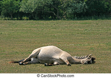 Konik horse, lying in a meadow - Pregnant Konik horse lying...