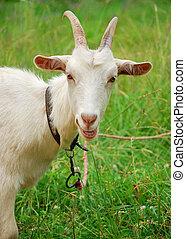 A goat in green grass