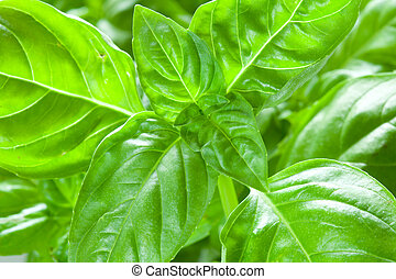 Basil leaves - Embossed green basil leaves closeup, food...