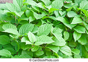 Green foliage - Many young green foliage closeup Natural...
