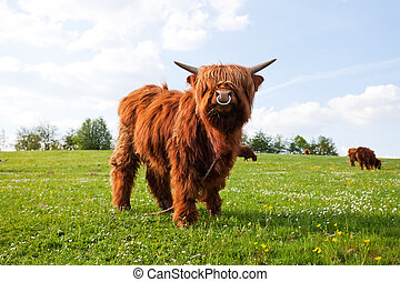 long haired cow on a meadow