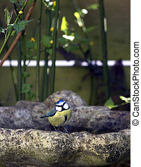 Great tit on bird bath - A blue tit perched on the edge of a...